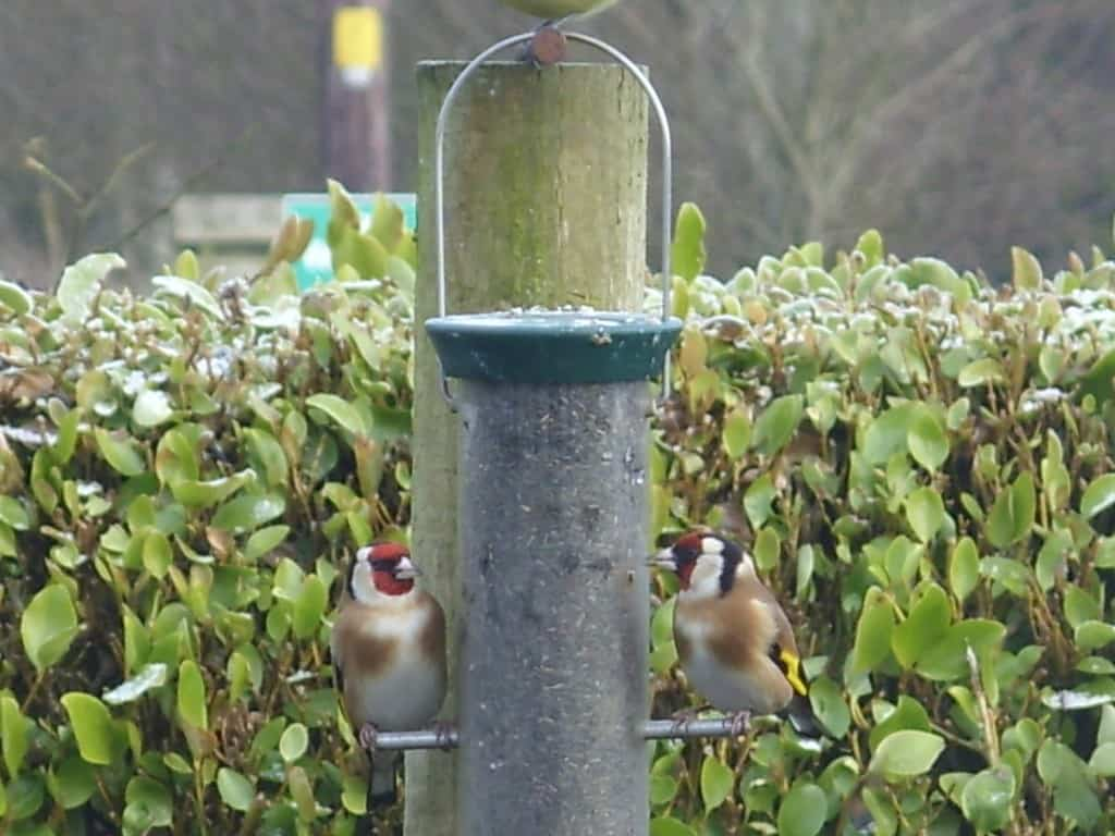 Goldfinches can't resist Niger seed.
