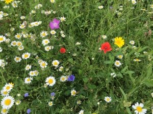 Sunnyside wildflower meadow 2016