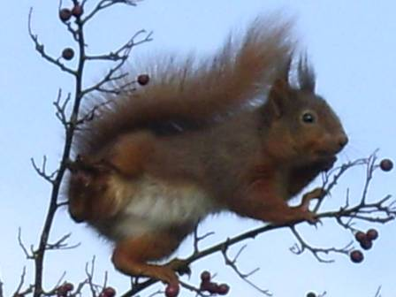Red Squirrel Rathcormac
