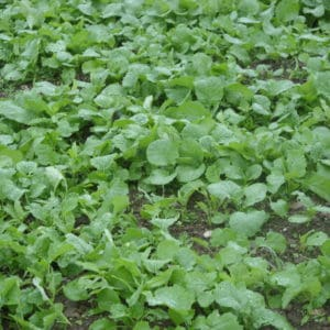 6-Pack Kale Seed Mix