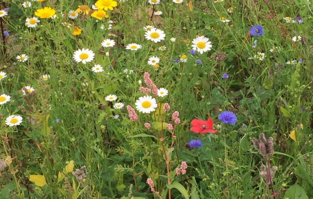 Wildflower Meadow Planting Guidelines