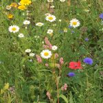 Wildflower Meadow Planting and Maintenance Guidelines