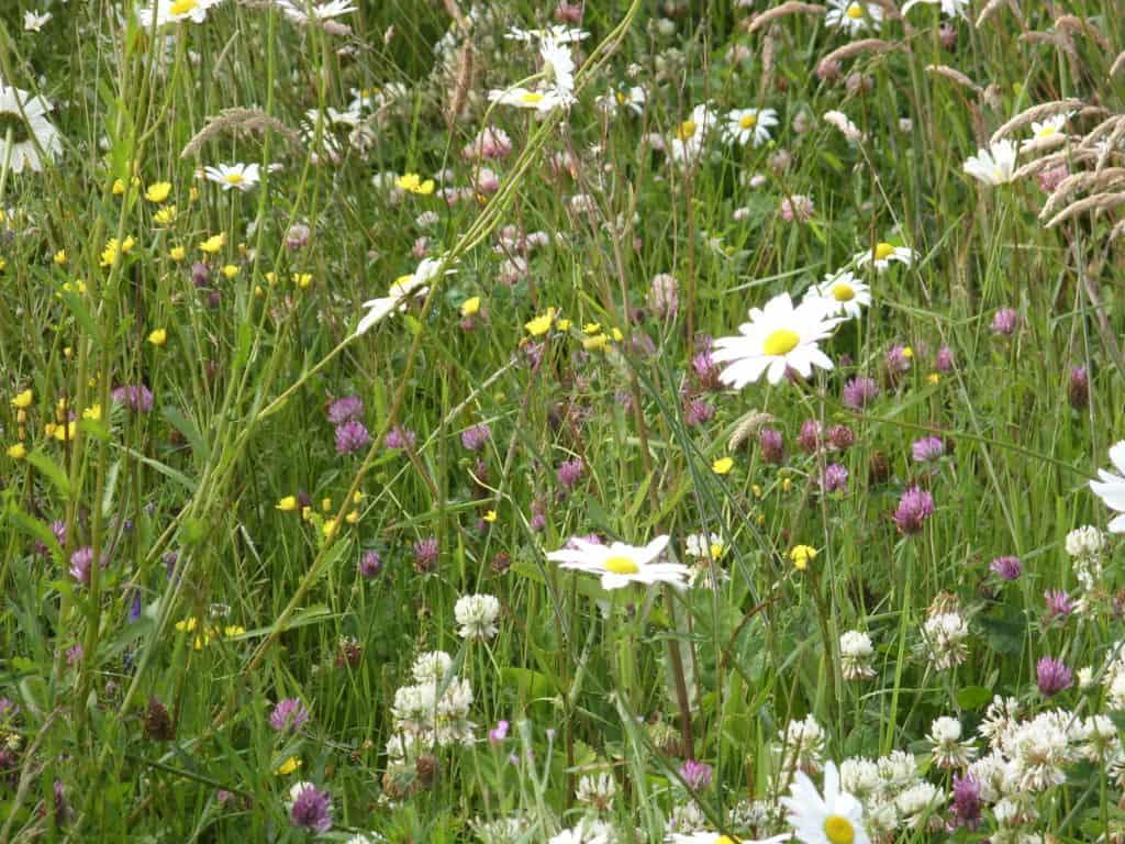 Wildflower meadow mix Ireland
