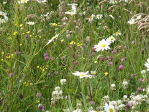 Wildflower meadow mix Ireland